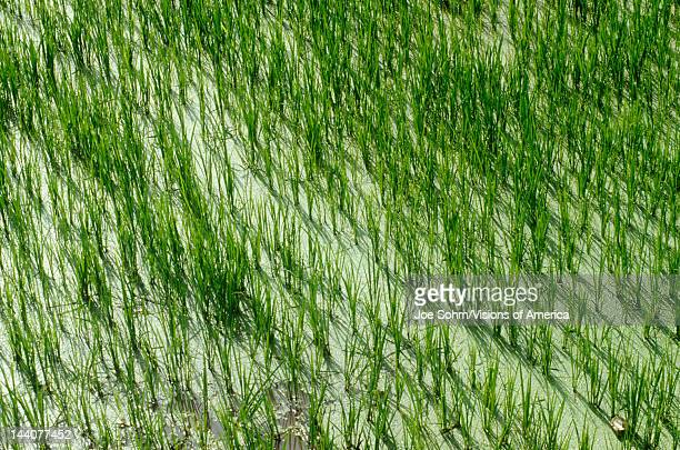 Rice paddies in Dali Yunnan Province People's Republic of China