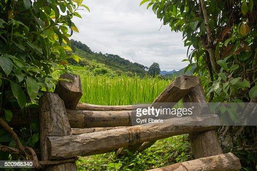 Rice paddies Laos : Stock Photo