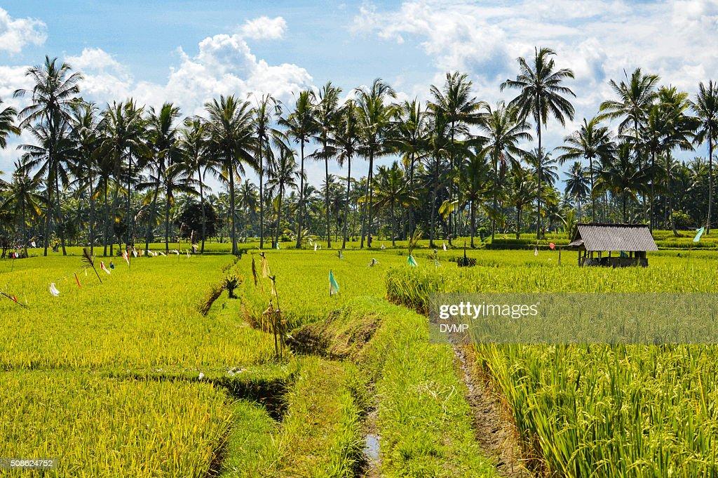Rice paddies : Stock Photo