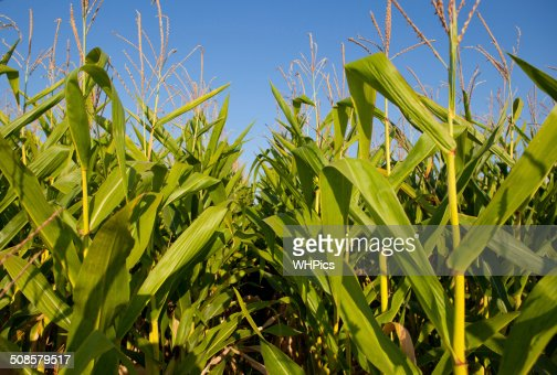 Rice paddy against blue sky : Stock Photo