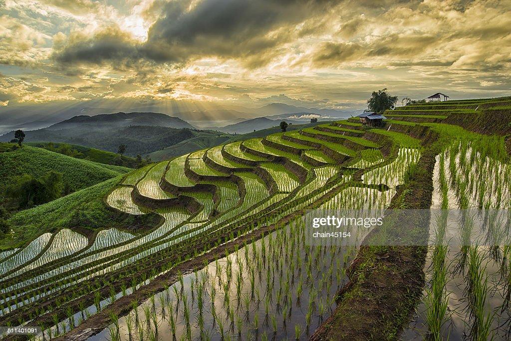 Rice Paddy field, Chiange Mai, Thailnd