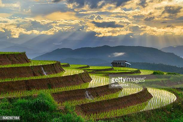Rice paddy field in Chiangmai Thailand Asian