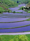 Rice Paddy field, Kumamoto Prefecture, Japan