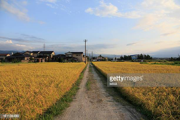 Rice Paddy in Autumn, Toyama, Japan