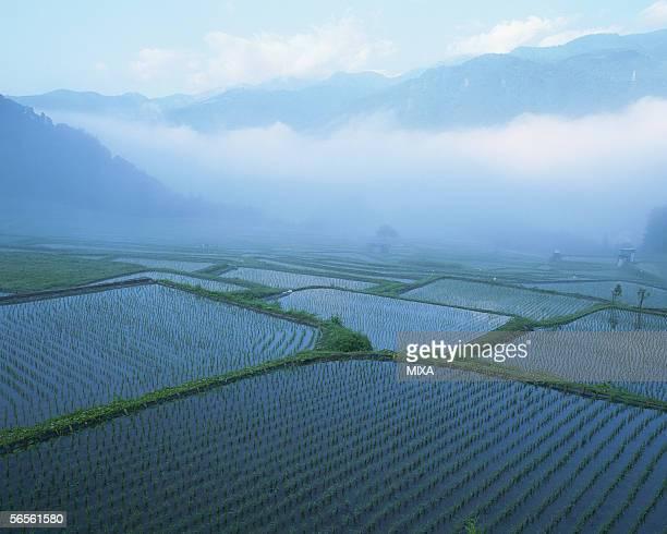 Rice paddy in Otari Village, Nagano, Japan