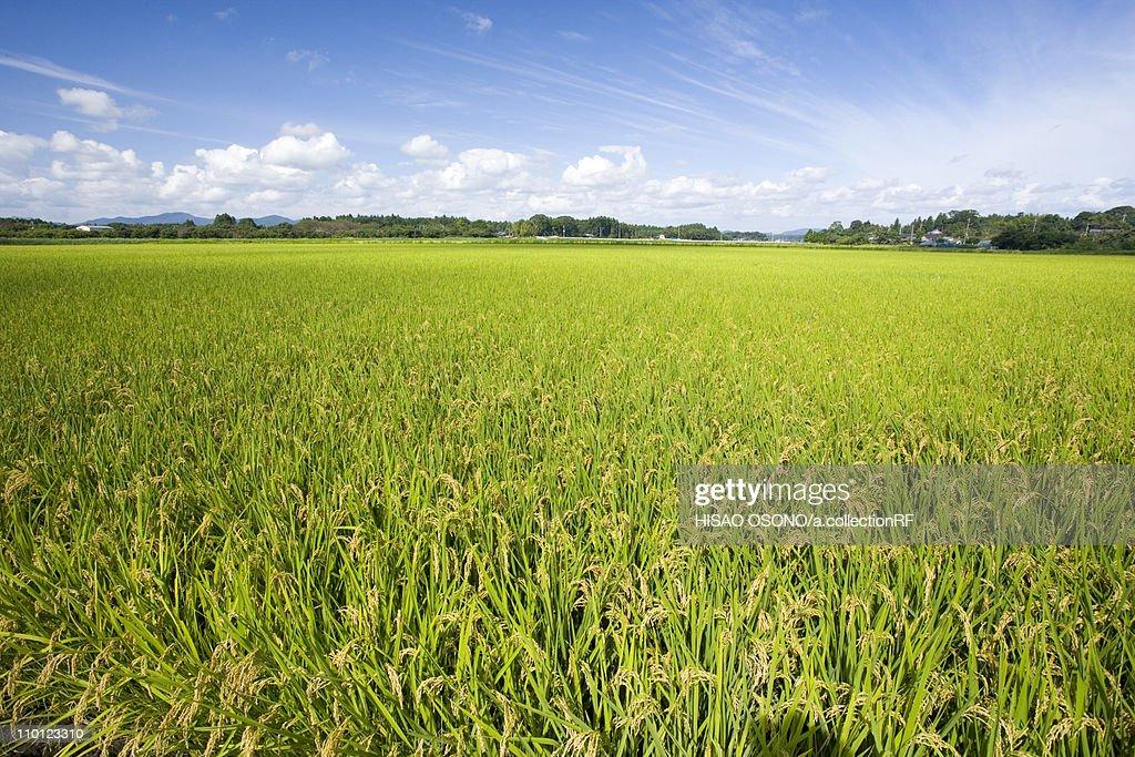 Rice Paddy : Stock Photo