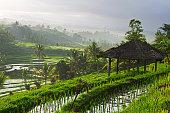 Rice paddy at sunrise, Bali, Indonesia