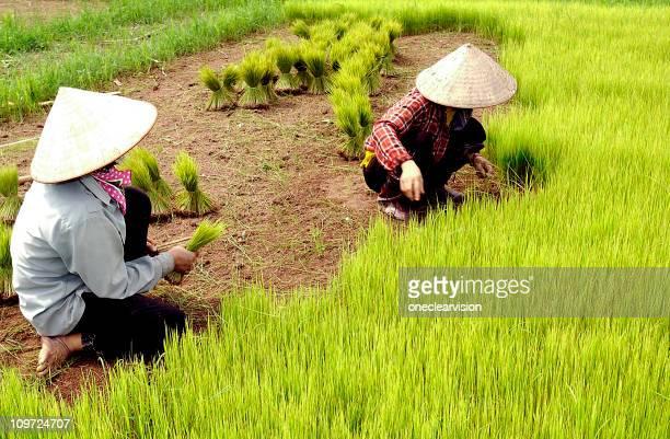 Rice Paddy Arbeitnehmer