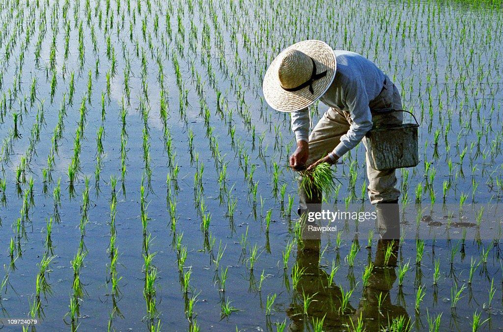 Rice Planting : Stock Photo