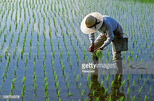 Rice Planting : Stock Photo