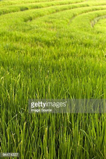 Rice plants in indonesia : Stock Photo