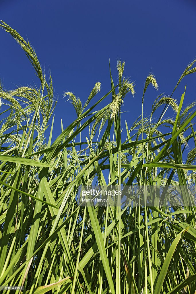 Rice plants ready for harvest in a paddy field at Pupan. Bali, Indonesia. : Stock Photo