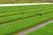 Rice seedlings in a rice paddy, Hyogo Prefecture, Honshu, Japan
