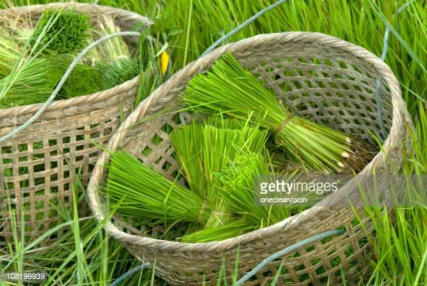 Rice Setzlinge