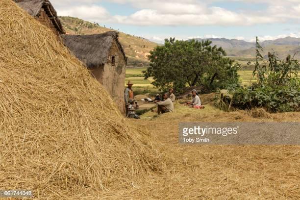 Rice stalks after threshing