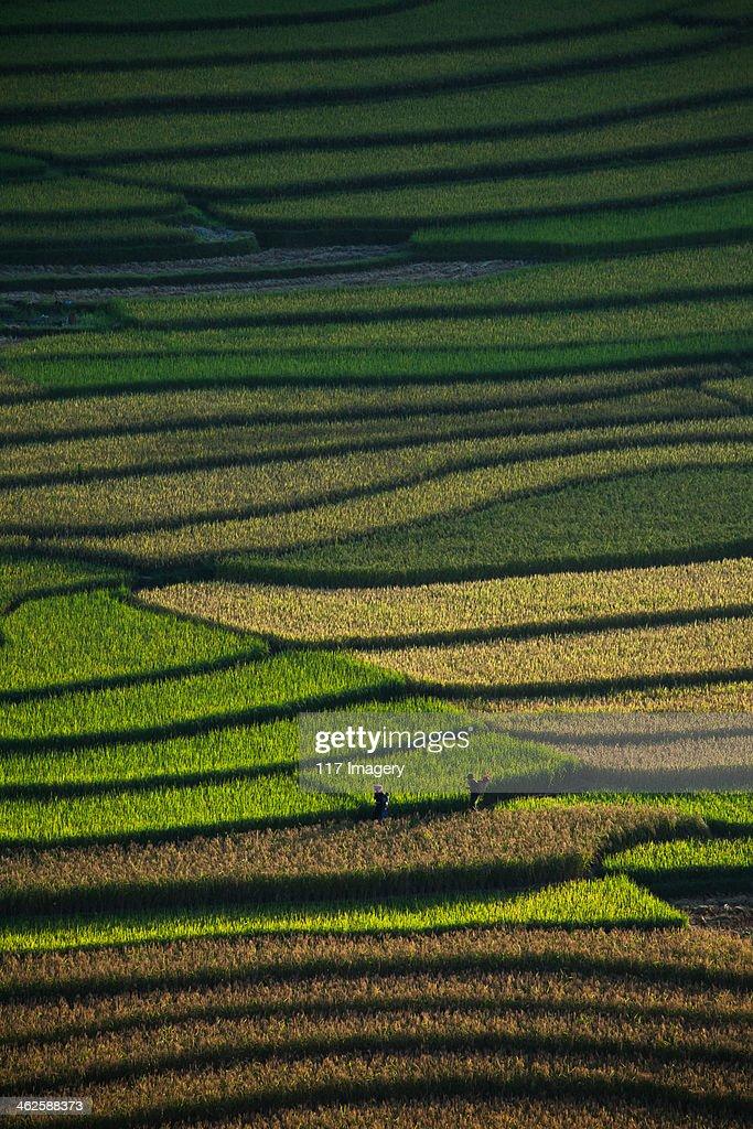 Rice terrace fields in Tu Le, North Vietnam