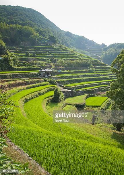Rice terrace paddies on Japanese mountain