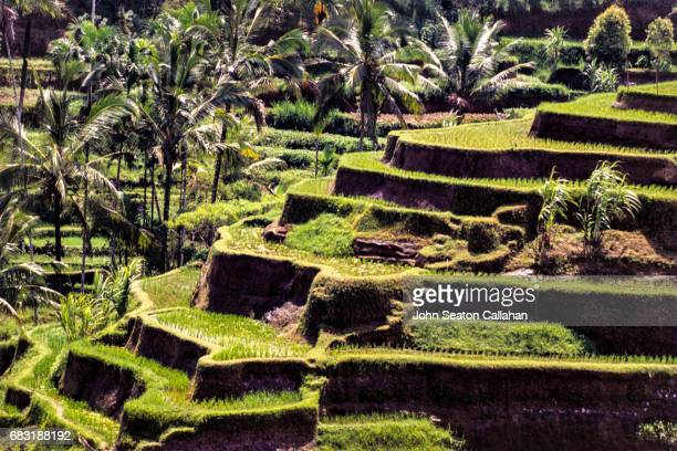 Rice Terraces and Coconut Palms