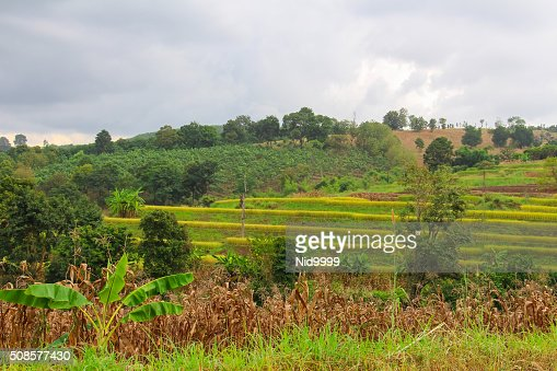 Rice terraces at Loei province in Thailand. : Stockfoto