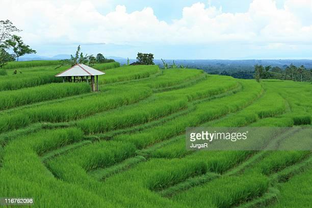 Terrazze di riso in Bali