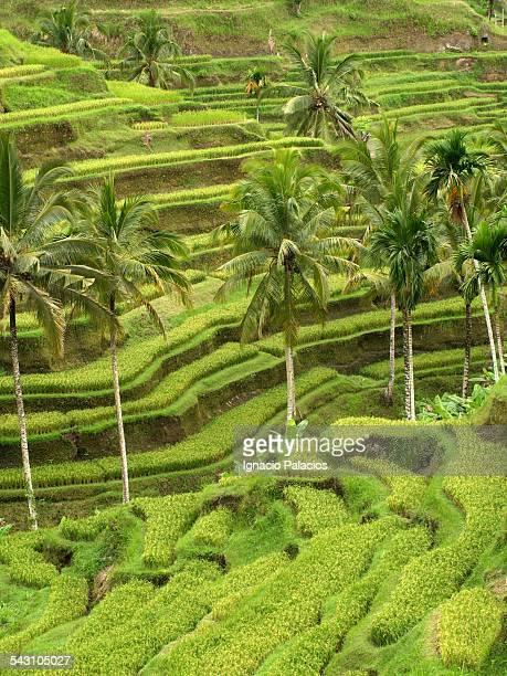 Rice terraces near Ubud