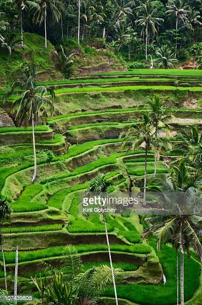 Rice terraces nearly Ubud
