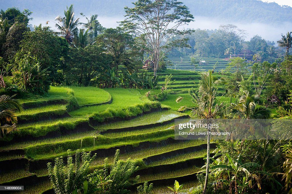 Rice terraces : Stock Photo