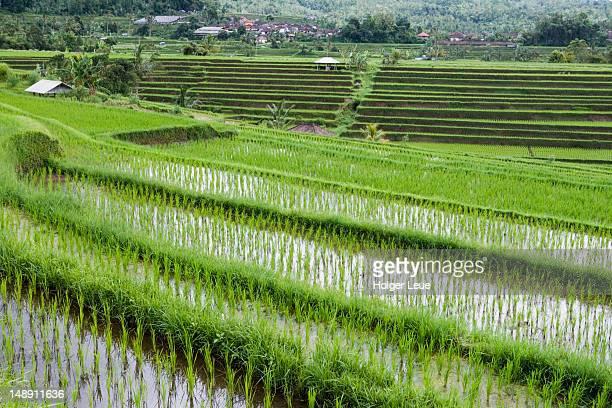 Rice terraces.