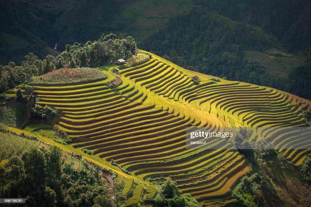 Rice terraces ( Mu cang chai)