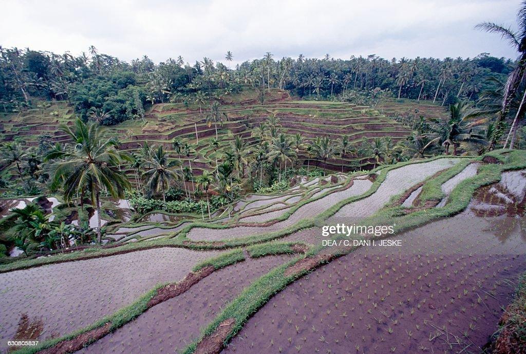 Rice terraces tegalalang ubud bali indonesia pictures for Tegalalang rice terrace ubud