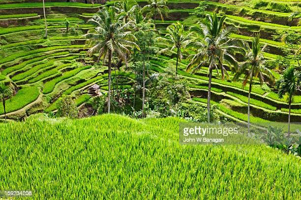 Rice terraces, Tegallalang, near Ubud, Bali