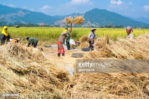 Rice threshing in Thailand : Stock Photo