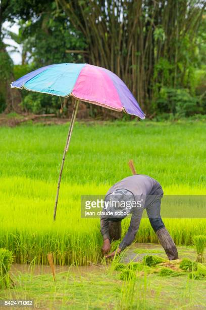 Rice transplanting in Chiang Rai province (thailand)