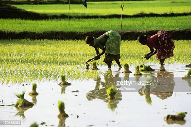 Rice transplanting Tamil Nadu India