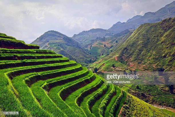 Rice_Vietnam 9