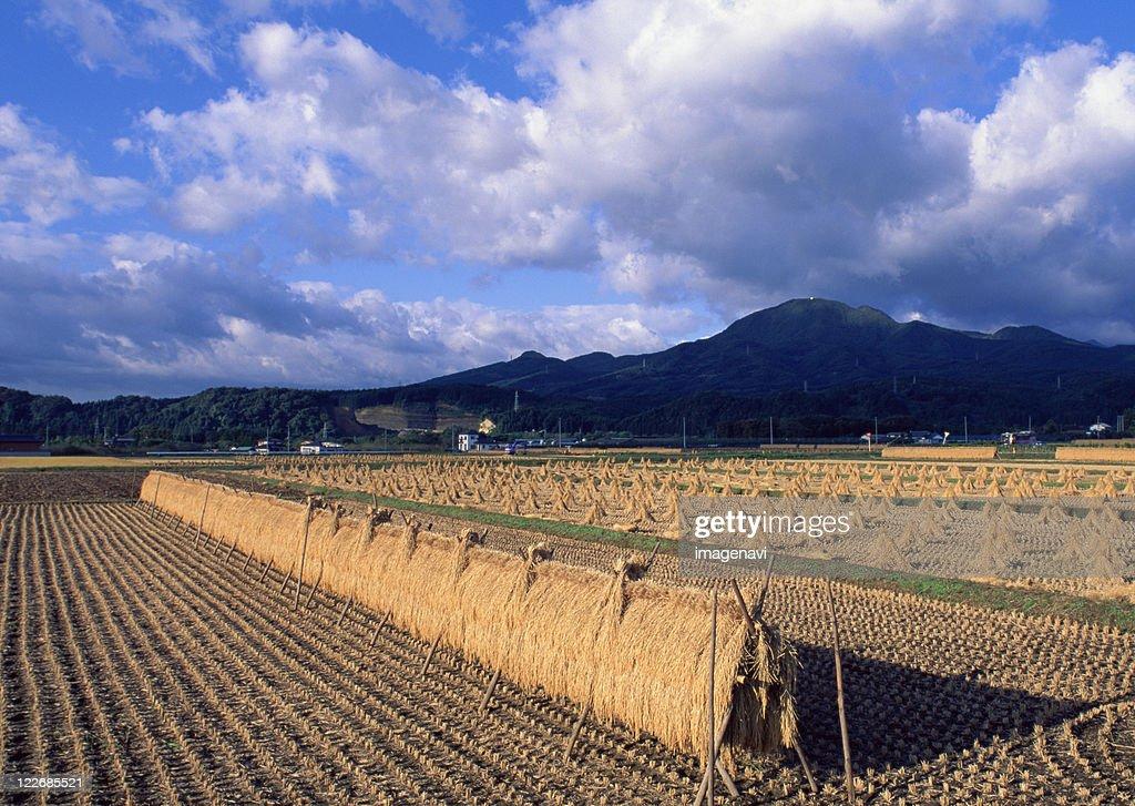 Rice-plant Rack