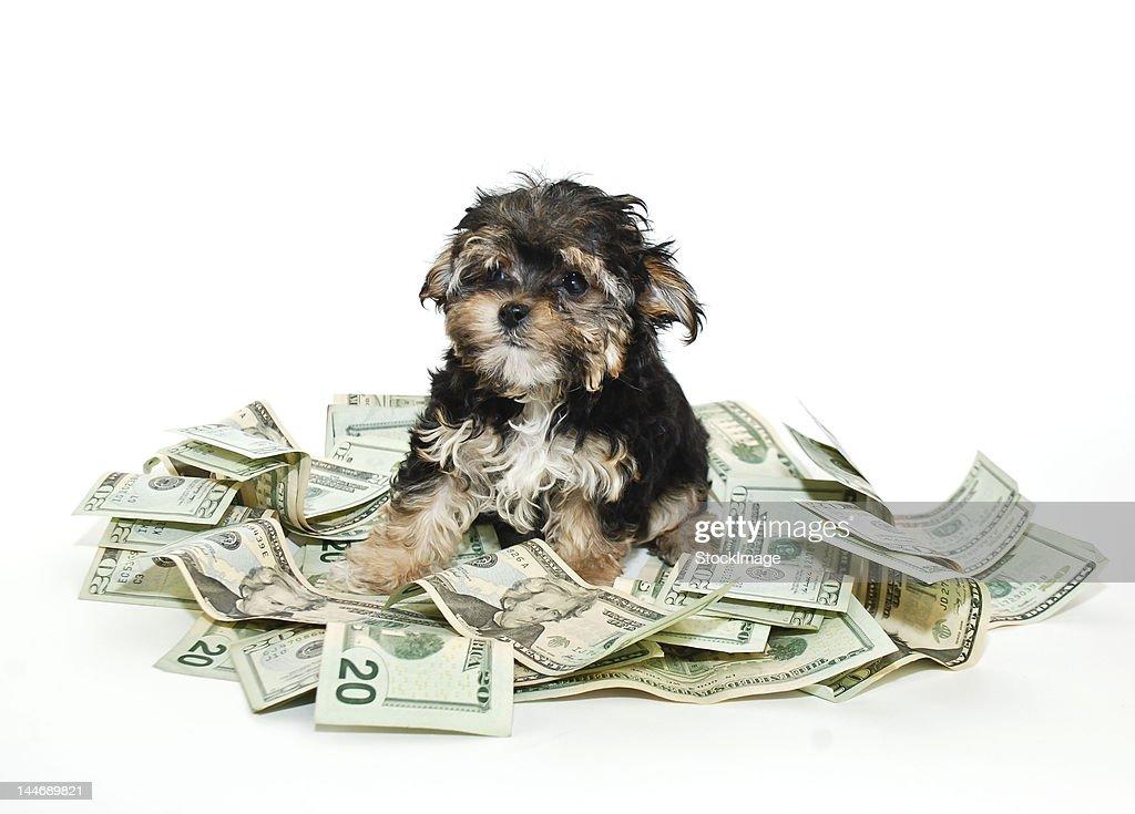 Rich puppy : Stock Photo