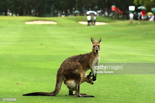 Richard Green of Australia prepares to play a shot on the 12th hole as a kangaroo and it's joey are seen on the fairway during day four of the...