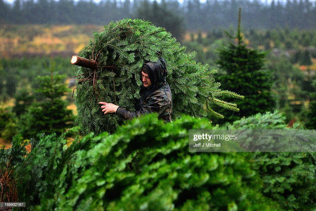 Richard Lowry lifts a Christmas tree at Garrocher Tree Farm on November 10, 2012 in Creetown, Scotland. The tree grower, won the coveted title of Champion Christmas Tree Grower 2012 at the 14th Annual British Christmas Tree Growers' Association and will now deliver a sixteen foot six inch tree to take up residence outside 10 Downing Street.