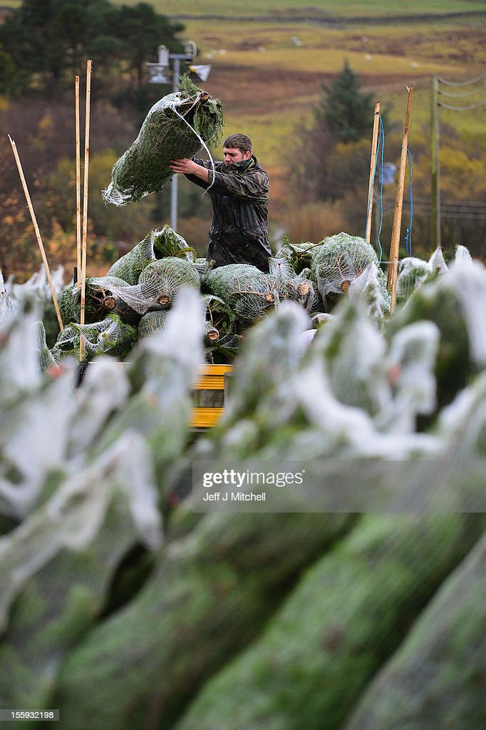 Richard Lowry loads Christmas trees to a truck at Garrocher Tree Farm on November 10, 2012 in Creetown, Scotland. The tree grower, won the coveted title of Champion Christmas Tree Grower 2012 at the 14th Annual British Christmas Tree Growers' Association and will now deliver a sixteen foot six inch tree to take up residence outside 10 Downing Street.