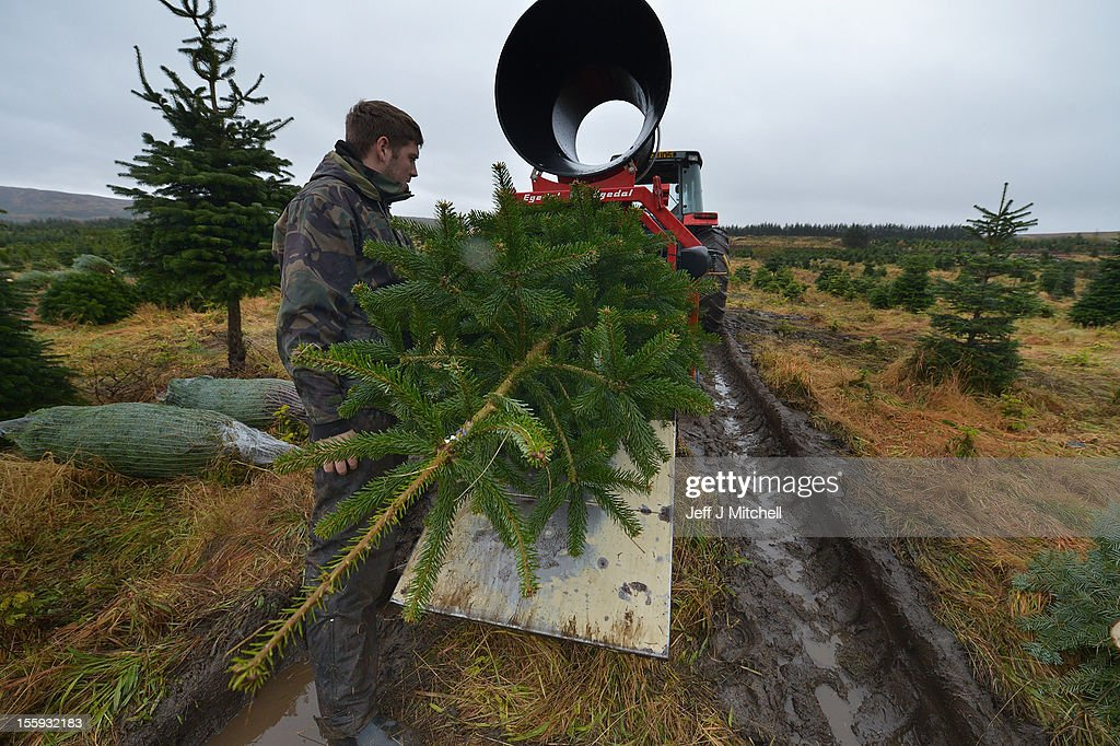 Richard Lowry nets a Christmas tree at Garrocher Tree Farm on November 10, 2012 in Creetown, Scotland. The tree grower, won the coveted title of Champion Christmas Tree Grower 2012 at the 14th Annual British Christmas Tree Growers' Association and will now deliver a sixteen foot six inch tree to take up residence outside 10 Downing Street.