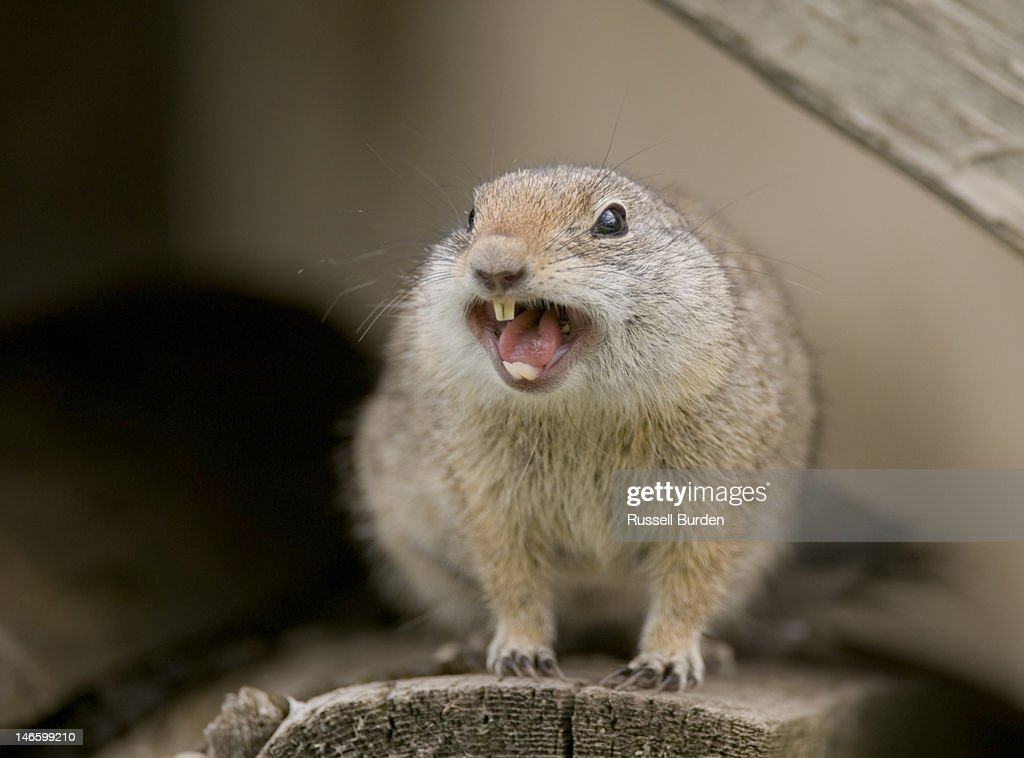 Richardsons ground squirrel in wood pile : Stock Photo