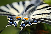 Richly coloured wing tips of the Scarce Swallowtail (Iphiclides podalirius)