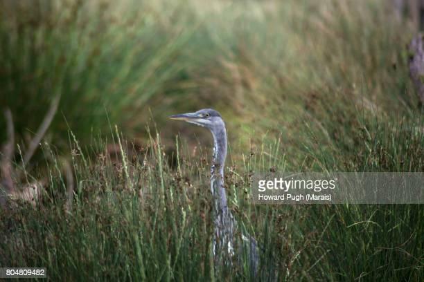 Richmond Park: Aquatic Life - Grey Heron