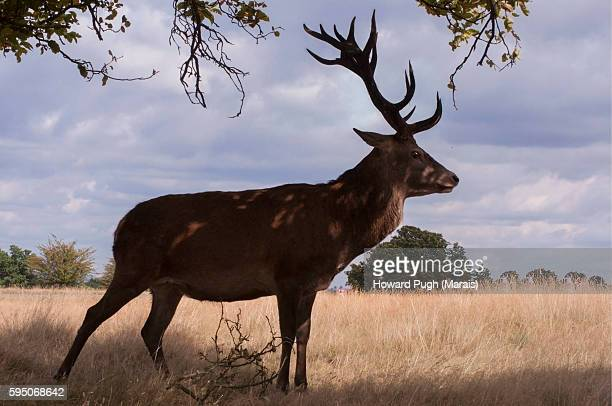 Richmond Park's Red and Fallow Deer in Summer Landscapes