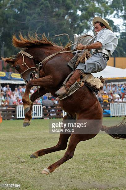 A rider mounts a colt at the 'Criollas del Prado' in Montevideo on March 17 2008 during the traditional rodeo week in Uruguay AFP PHOTO/Miguel ROJO