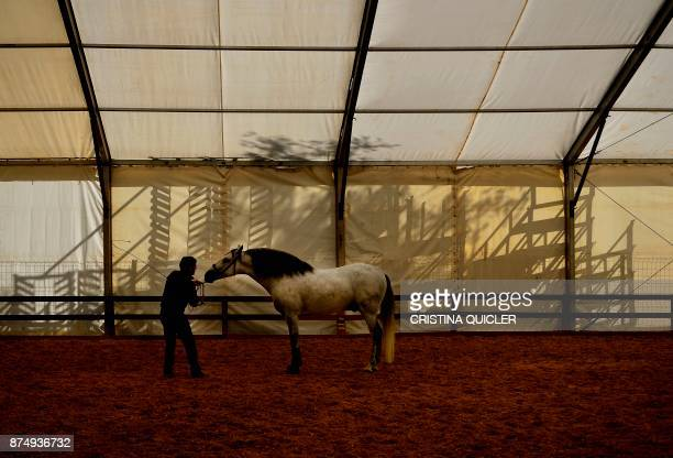 A rider trains a horse before an exhibition at the Sicab 2017 International Horse fair in Sevilla on November 16 2017 / AFP PHOTO / CRISTINA QUICLER
