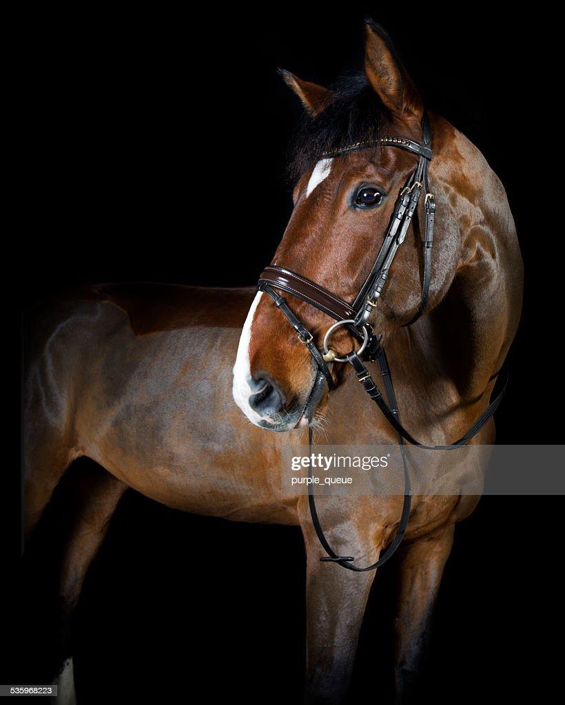 riding horse in the studio : Stock Photo