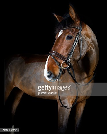 riding horse in the studio : Stock Photo