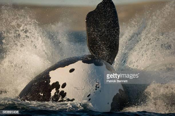 Right whale breaching in Gulfo Nuevo in Argentina